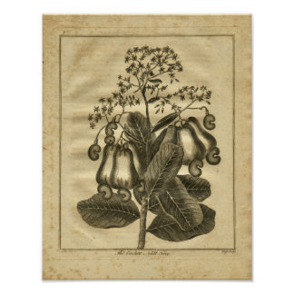 1817 Cashew Nut Culpeper Herbal Print