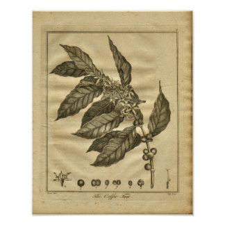 1817 Coffee Tree Culpeper Herbal Print