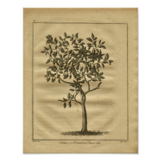 1817 Forbidden Fruit Culpeper Herbal Print
