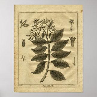 1817 Jesuits Bark Tree Culpeper Herbal Print