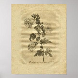 1817 Marsh Mallows Culpeper Herbal Print