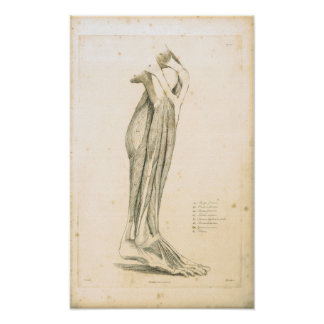 1833 Muscles of leg Vintage Anatomy Print