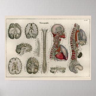 1837 Vintage Brain Nerves Anatomy Art Poster