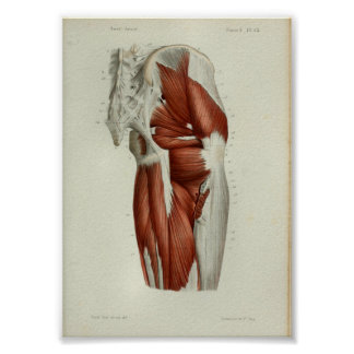 1844 Vintage Anatomy Print Muscles Hip