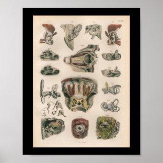 1879 Vintage Bock Anatomy Print Eye Ear