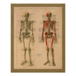 1888 Skeleton Muscle Attachment Anatomy Poster