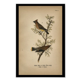 1890 Bird Print Cedar Bird