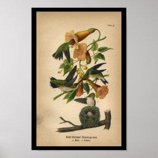 1890 Bird Print Ruby-throated Hummingbird