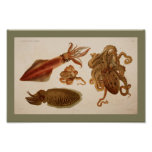 1896 Vintage Colour Octopus Squid Print