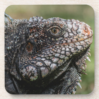 1920px-Iguanidae_head_from_Venezuela Coaster