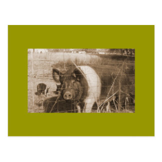 1960s Pig Post Cards