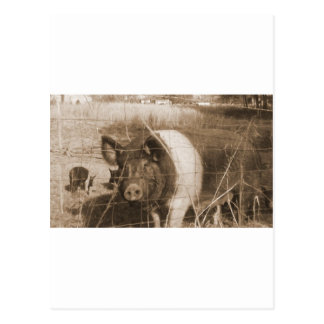 1960s Pig Post Card