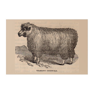 19th century print yearling Cotswold sheep Acrylic Wall Art