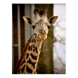 2013 Calendar Giraffe Photo Postcard