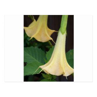 206a Angels trumpet yellow close up Postcard