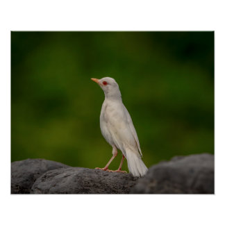 20x16 Albino Robin in Crown Point Poster