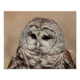 20x16 Barred Owl Poster
