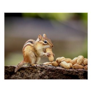20x16 Chipmunk eating a peanut Poster