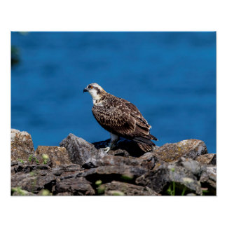 20x16 Osprey on the rocks Poster