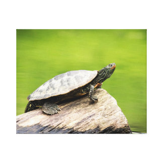 20x16 Painted Turtle on a log Canvas Print