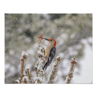 20x16 Red-bellied Woodpecker in the snow Poster