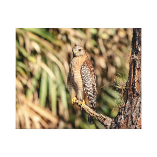 20x16 Red Shouldered Hawk in a tree Canvas Print