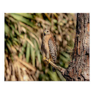 20x16 Red Shouldered Hawk in a tree Poster