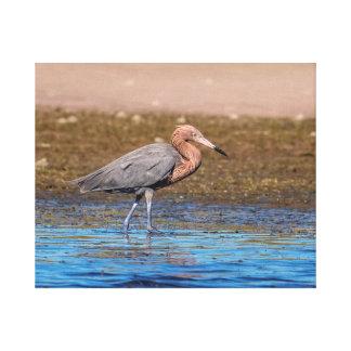 20x16 Reddish Egret on North Beach Canvas Print