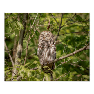 20x16 Sleepy Barred Owl Poster