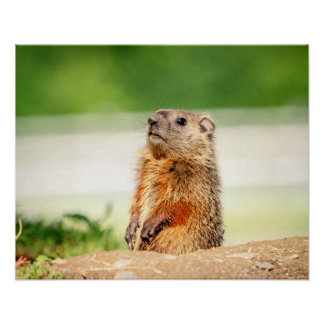 20x16 Young Groundhog Poster