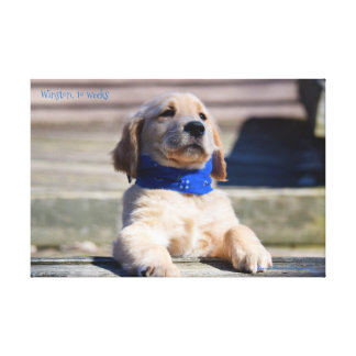 "24"" x 18"", 1.5"" Wrapped Canvas - 10wk golden puppy"