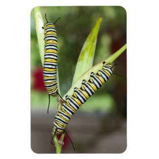 2 monarch caterpillars on milkweed photo magnet