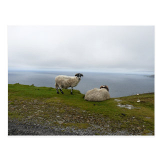 2 Sheeps Postcard