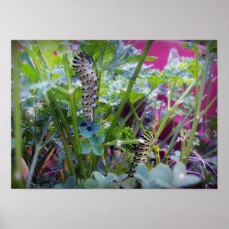 2 Swallowtail Caterpillars Poster