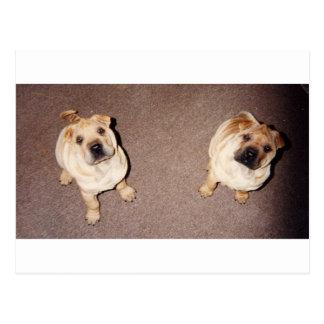 2 tan Shar-Pei_puppies Postcard