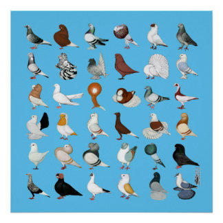 36 Pigeon Breeds Poster