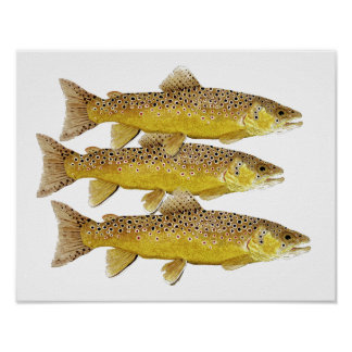 3 Brown trout Poster