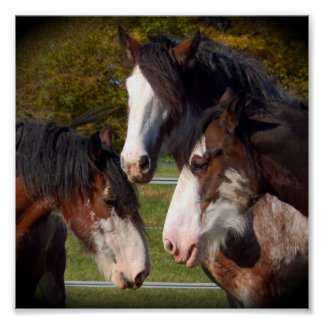3 Clydesdale Heads Print