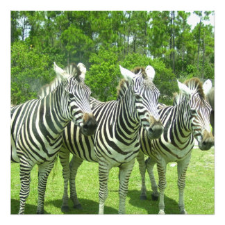 3 Cute Zebras Photo Print