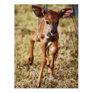 3 day old baby Nyala deer Postcard