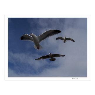 3 Gulls Postcard