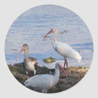 3 Ibis on the shore of Florida Bay Classic Round Sticker