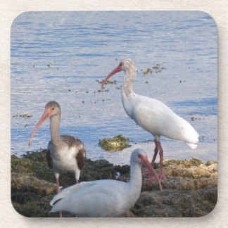 3 Ibis on the shore of Florida Bay Coaster