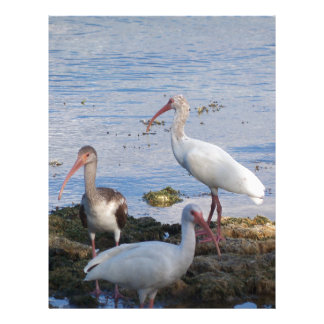 3 Ibis on the shore of Florida Bay Letterhead