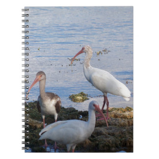 3 Ibis on the shore of Florida Bay Notebook