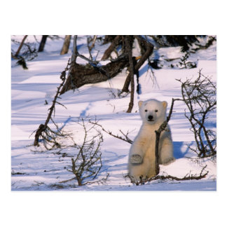3 month old polar bearcoy) standing at scrub postcard