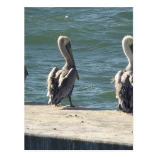 3 Pelicans Postcard