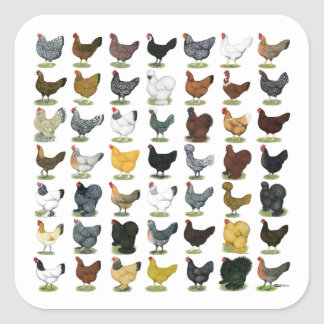 49 Chicken Hens Square Sticker