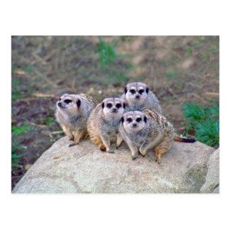 4 Meerkats Peering Postcard