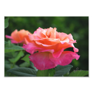 50 shades of Pink Rose Art Photo